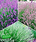 BALDUR Garten Winterharte Stauden Lavendel-Sortiment, 9 Pflanzen, blau, rosa, weiß, Duftlavendel, Lavandula echter Lavendel