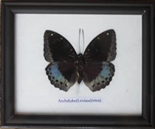 Insectfarm Rare Framed Real Archduke Butterfly Collection Display Insect Taxidermy