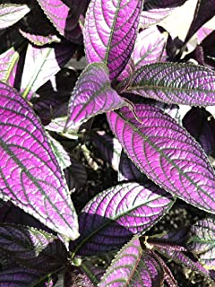 1 Live Plant Strobilanthes Dyeriana - Persian Shield Plant - Royal Purple Plant - Rooted & Potted Plant - Exotic Foliage - Rare Persian Shield Plant