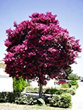 Large Twilight Crape Myrtle, 2-4ft Tall When Shipped, Matures 22ft Tall, 1 Tree, Rich Sunset Purple/Pink (Shipped Well Rooted in Pots with Soil)