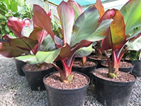Ensete Maurelii Banana Plant Tree Tropical Live Plant Hardy
