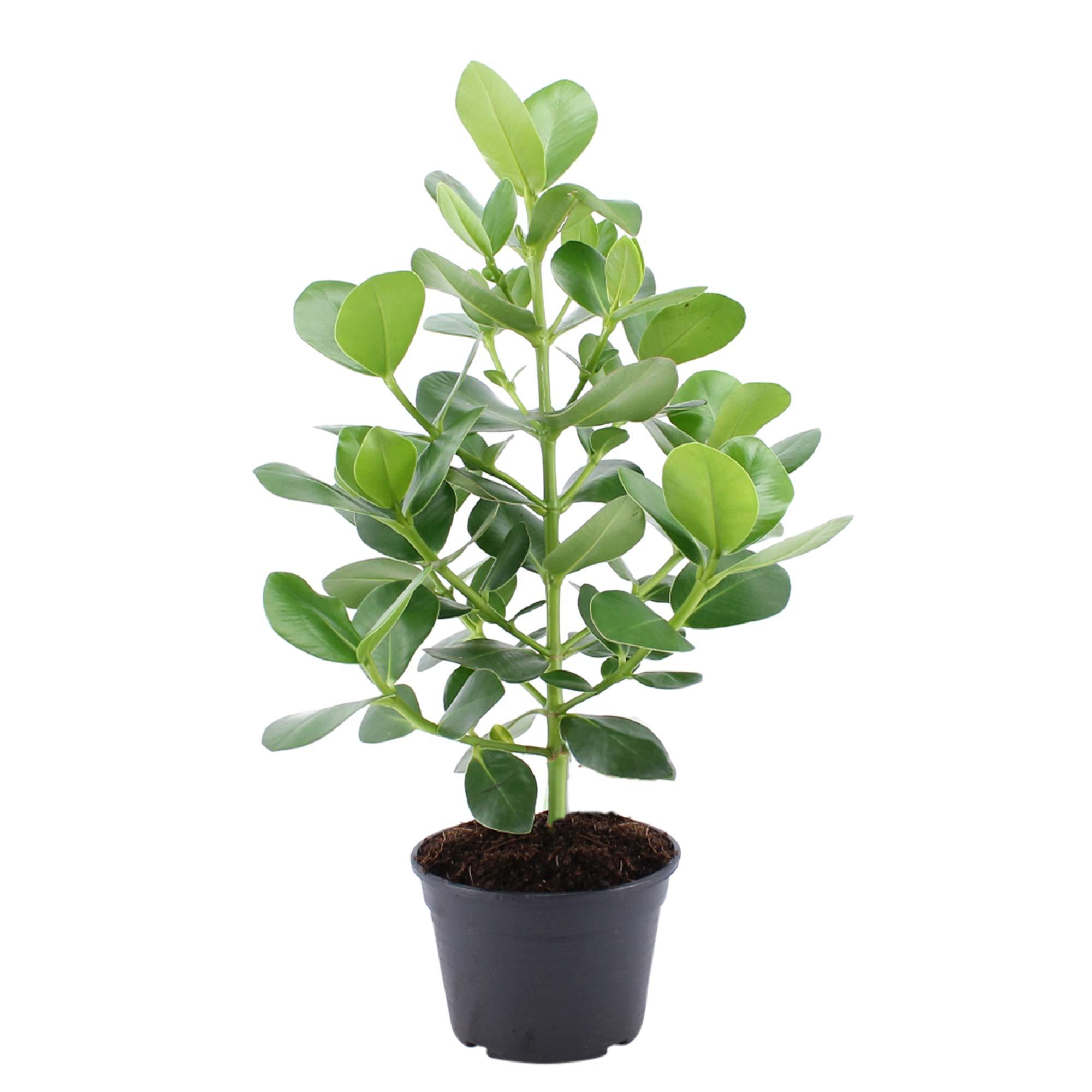 Planta de interior de Botanicly – Mamey Silvestre – Altura: 70 cm ...