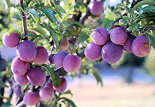 Toka Plum EZ Start Potted Tree 2 Years Old When Shipped 1/½ Bottomless 4x4x10 Pot for a Quick and Strong Establishment AKA Bubblegum Plum 3 Tall