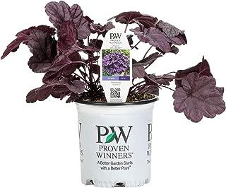 Proven Winners HEUPWP2156103 Live Plant, 0.65 Gallon, Wildberry