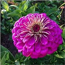 David's Garden Seeds Flower Zinnia Giant Dahlia Flowered Violet LB3658 (Purple) 100 Non-GMO, Open Pollinated Seeds