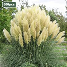 fanmaosdf Pampas Grass Seeds,500Pcs Pampas Grass Ornamental Plant Seeds Garden Yard Growing DIY Home Decor