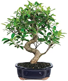 Amazon Com Bonsai Live Indoor Plants Grocery Gourmet Food