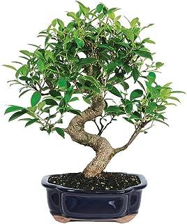 Amazon Com Bonsai Live Indoor Plants Grocery Gourmet Food