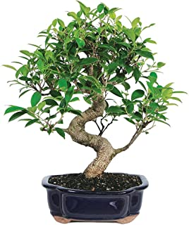 Brussel's Bonsai Live Golden Gate Ficus Indoor Bonsai Tree-7 Years Old 8