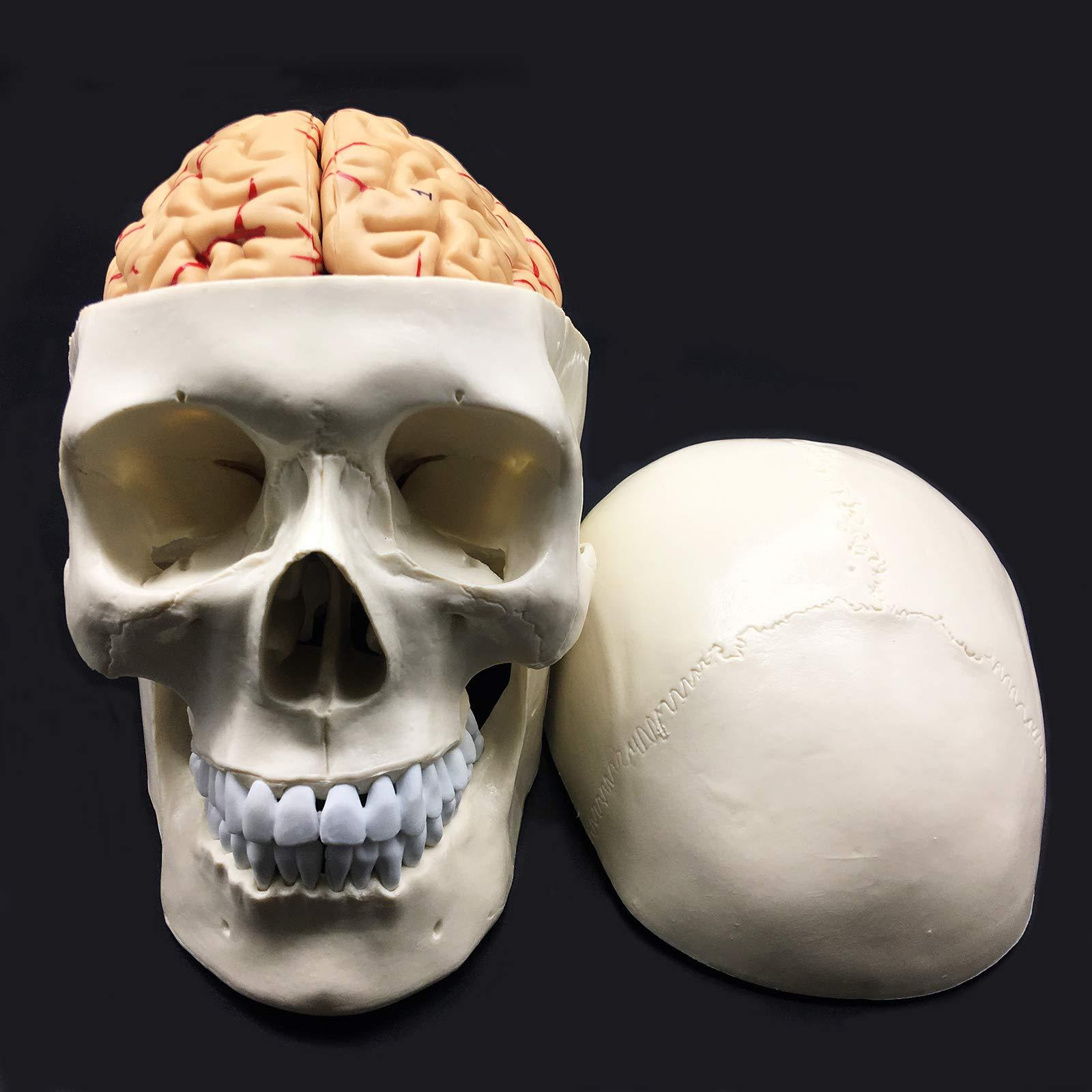 Anatomical Life Size Anatomy Classroom Teaching