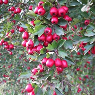 Wild Hawthorn Seeds (Crataegus monogyna) 10+ Organic Heirloom Seeds in FROZEN SEED CAPSULES for the Gardener & Rare Seeds Collector - Plant Seeds Now or Save Seeds for Many Years