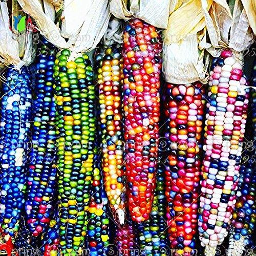 20 graines de maïs arc-en-doux, les céréales à grains de maïs de semence de légumes colorés, 95% + germination, légumes de haute qualité pour le jardin de la maison