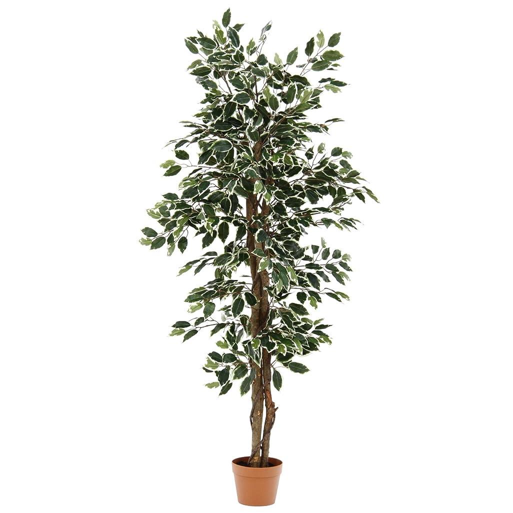 新しさユーザーバンカー不二貿易 観葉植物 フィカス B 高さ160cm グリーン 52663