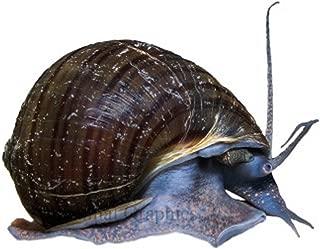 Hot Sale! 3 Black Mystery Snails Live Freshwater Aquarium Snails