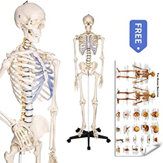 Best build human skeleton model Reviews