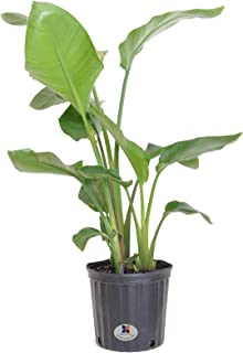 United Nursery White Bird of Paradise Live Indoor Strelitzia Nicolai Plant Shipped in 9.25 inch Grower Pot 30-38 inch Shipping Size (Large)