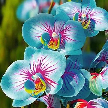 TOYHEART 100 Piezas De Semillas De Flores De Primera Calidad, Semillas De Phalaenopsis, Plantas Aromáticas De Cymbidium, Plántulas De Flores De Orquídeas Perennes Para Oficina Azul