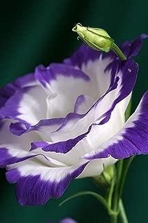 100 Seeds Purple Eustoma Seeds Perennial Flowering Plants Flowers Seeds Lisianthus #32799044196ST