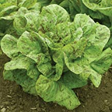 David's Garden Seeds Lettuce Flashy Trout Back SL3643 (Green) 500 Non-GMO, Organic, Open Pollinated Seeds