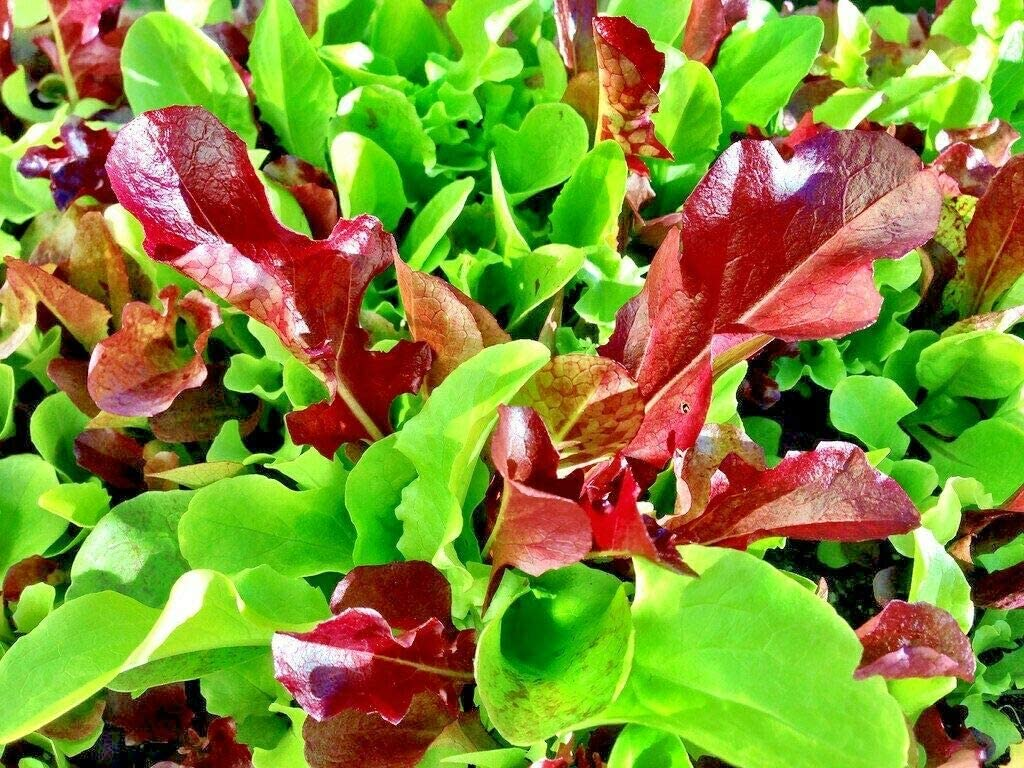 S-pone, 500+ Mesclun Mix Lettuce Seeds Vegetable Seeds for Planting Home Gardens Non-GMO