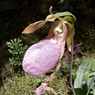 Pink Lady's Slipper - Orchid - Rare Flower Seeds (200)