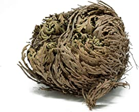 (Set of 10 Pack)- Herbs-Rose of Jericho Flowers Resurrection Fern - Selaginella lepidophylla