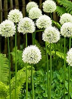 Giant Allium Giganteum Onion Flower Bulbs 1pcs, Dreamlike Purple Flower for Garden Spring Plant Decoration Circumference Bulbs 12cm~14cm (White Bulb)