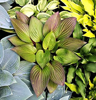 Hosta First Blush Plant New Rare Starter Size Orders For Spring Shipping 2019