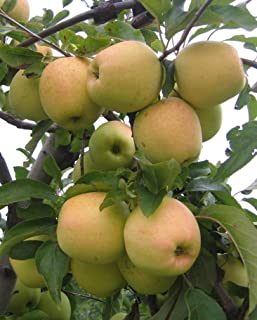 Best golden apple fruit tree Reviews