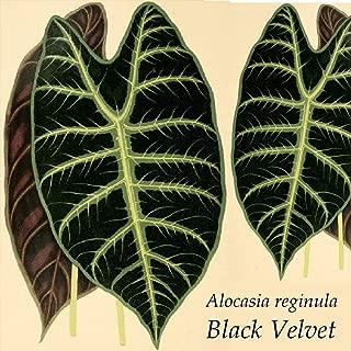 Seeds 20pcs/Pack alocasia ~Black Velvet~ alocasia reginula Jewel of Sabah Elephant Ear sml potd Plant Seeds