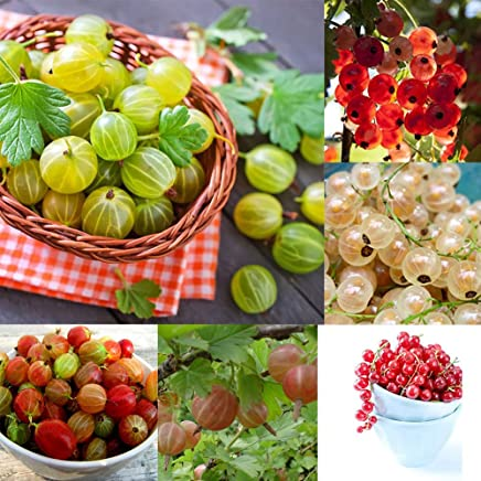 100//200//400Pcs Rare Grafting Strawberry Kiwi Seeds Sweet Fruits and Vegetables Bonsai Plant for Garden Balcony Patio 100pcs