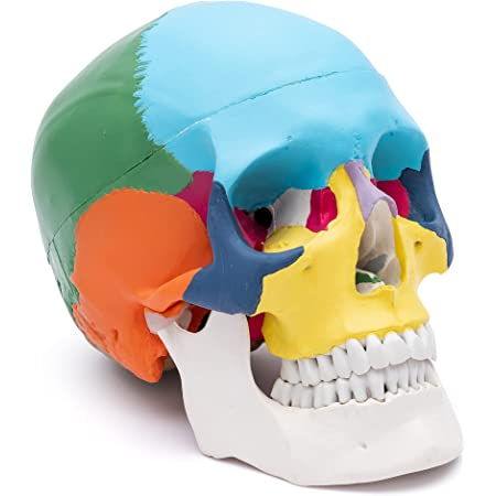 S24.2134 Cranio 3 pièces