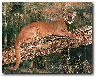 Wild Animal Wall Decor Florida Panther Big Cat Picture Art Print Poster (16x20)
