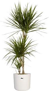 Planta de interior de Botanicly – Árbol dragón en maceta blanca cilíndrica como un conjunto – Altura: 125 cm – Dracaena Ma...