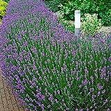 10x Lavandula angustifolia'Munstead' | Lavande vraie violette | Plantes d'extérieur fleuries | Hauteur 10-15cm | Pot Ø 7cm