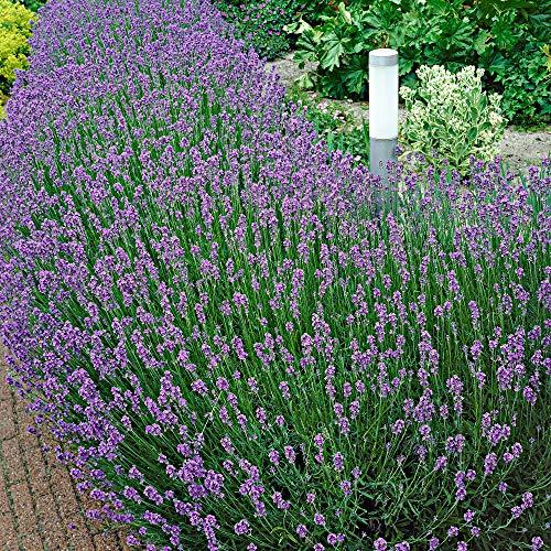 10x Lavandula angustifolia'Munstead'   Giovani piante di lavanda viola   Altezza 10-15 cm   Vaso Ø 7 cm