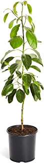 HASS Avocado Tree - Large Indoor/Outdoor Avocado Trees, Ready to give Fruit - Get Delicious Avocado Fruit Year Round from This Patio Fruit Tree - 2-3 ft. - Cannot Ship to AZ