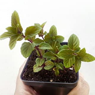 Chocolate Mint Plant in 2.5 inch pot