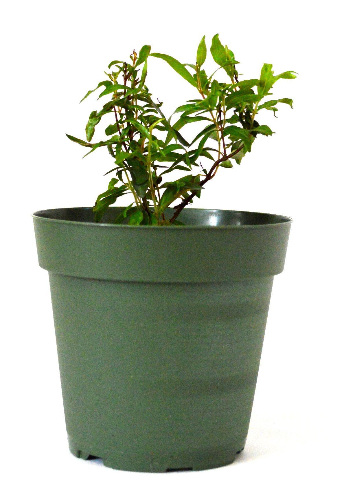 Amazon Com 9greenbox Dwarf Pomegranate Tree 4 Pot Tree Plants Garden Outdoor