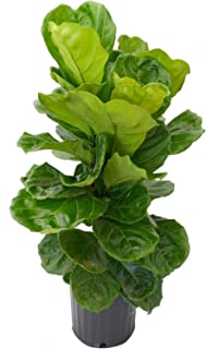 Acosta Farms - Fiddle Leaf Fig (Ficus Lyrata) - Live Indoor and Outdoor House Plant - 24