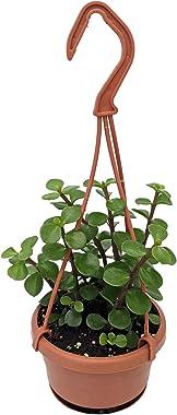 "Spekboom Miracle Plant - 4"" Mini Hanging Basket - Portulacaria afra Red Stem"