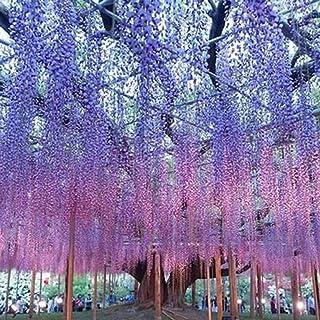 Kisshes Seeds- Semillas del árbol de Wisteria,Flor fragante