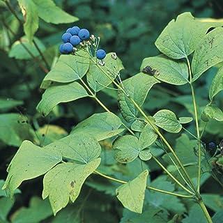 Blue Cohosh Seeds (Caulophyllum thalictroides) 12+ Medicinal Herb Seeds