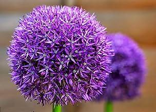 10 Dark Purple Allium Bulbs Blooming Onion Flowering Perennial Garden Flower