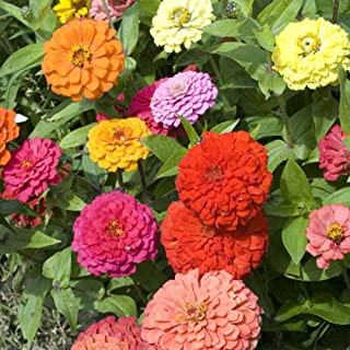 Zinnia California Giant Flower Seeds, 8 Oz, 22,000+ Seeds by Seeds2Go