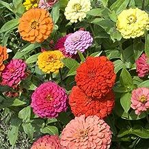 Zinnia California Giant Flower Seeds, 8 Oz, 22,000+ Seeds by Seeds2Go