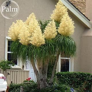 KOUYE GardenSeeds- 100pcs Rare Palm Seed Evergreen Elephant Foot Ponytail Palm Plant Seed Hardy Perennial for Balcony/Garden