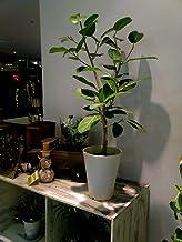 フィカス・ベンガレンシス 7号 観葉植物 ベンガルゴム 鉢植え インテリア