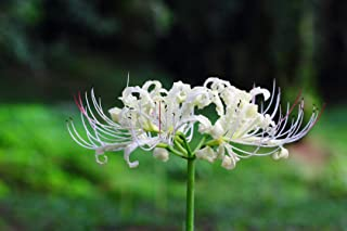 White Lycoris Bulbs -2 Bulbs- Surprise Lilies Spider Lily Bulb Office Indoor Courtyard Flower Bonsai Balcony Decoration Desktop Seeds