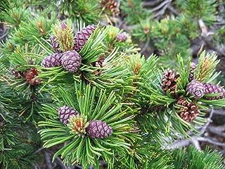 1 oz Seeds (Approx 4209 Seeds) of Pinus mugo pumilio, Dwarf Mugo Pine